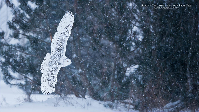Snow Owl Hunting for Real Prey<br /> Raymond's Ontario Nature Photography Tours<br /> <br /> ray@raymondbarlow.com<br /> Nikon D800 ,Nikkor 200-400mm f/4G ED-IF AF-S VR<br /> 1/2500s f/4.0 at 280.0mm iso2000