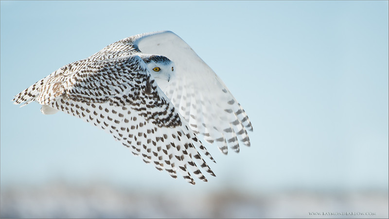 Snowy Owl in Flight<br /> RJB Wild Birds of Ontario Workshops<br /> ray@raymondbarlow.com<br /> No Bait used or needed<br /> Nikon D800 ,Nikkor 200-400mm f/4G ED-IF AF-S VR<br /> 1/2000s f/4.0 at 400.0mm iso200