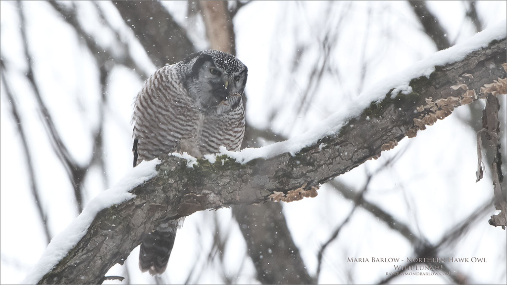 Maria's image!<br /> <br /> A day trip with Maria Dessiray to a cool location North of Ottawa March 8th, 2018.. and a visit with my buddy Bruce Kennedy. We had fun waiting for this owl to wake up! See Bruce's images for the whole story of a cool nature event.<br /> <br /> I was messing with our second camera, trying to fine tune it for Maria, so she took over with my d850 and the 200-400 lens, and blasted about 15 shots, this is one of them.<br /> <br /> Not bad for 12 yrs old!<br /> <br /> Hope to head back up there Monday, and maybe a visit with some Great Greys this weekend, as Daisy had the weekend off.<br /> <br /> take care!<br /> <br /> Northern Hawk Owl with Lunch - Photo by Maria Barlow<br /> Raymond's Canada Nature Photography Tours<br /> <br /> ray@raymondbarlow.com<br /> Nikon D850 ,Nikkor 200-400mm f/4G ED-IF AF-S VR<br /> 1/1250s f/6.3 at 400.0mm iso1000
