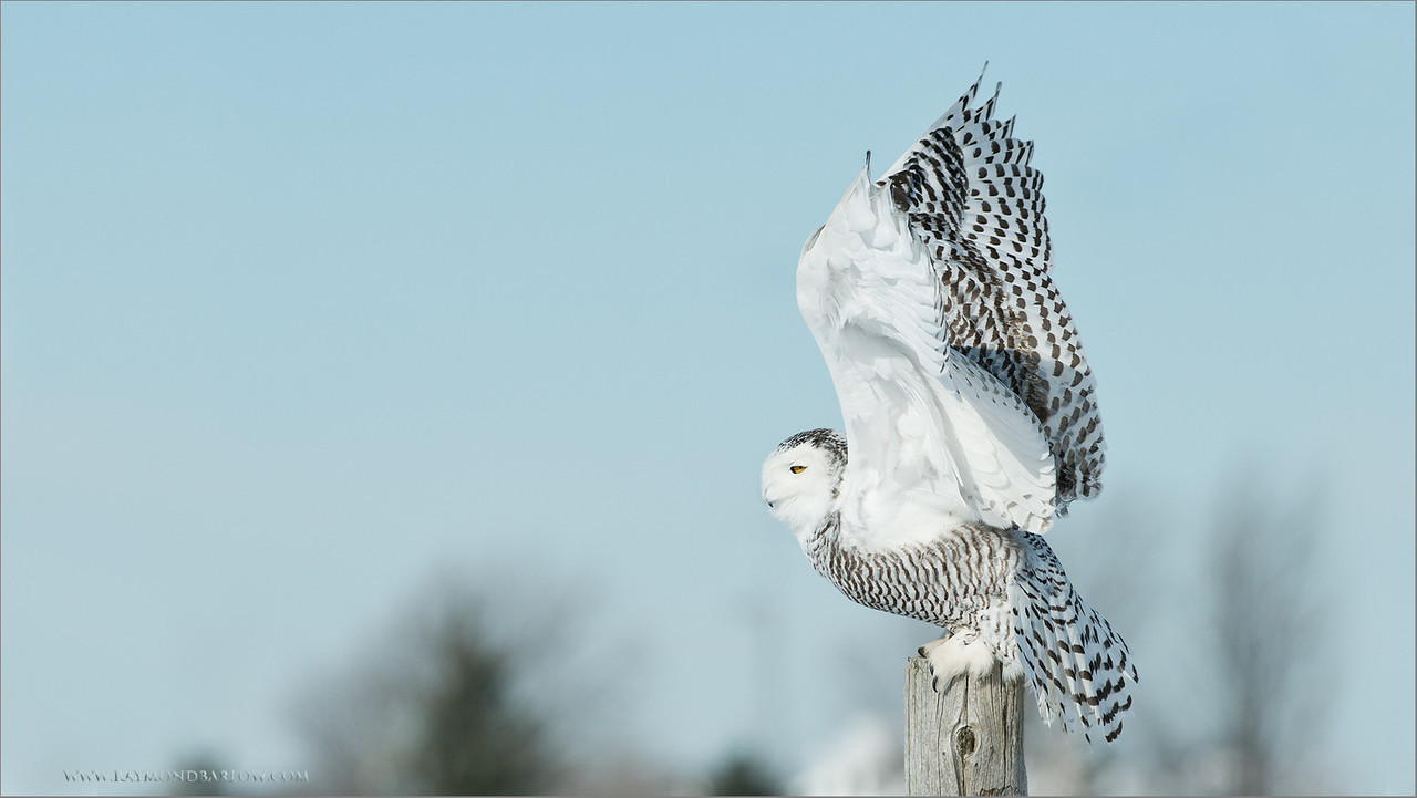 Snowy Owl Lift Off<br /> RJB Wild Birds of Ontario Workshops<br /> ray@raymondbarlow.com<br /> No Bait used or needed<br /> Nikon D800 ,Nikkor 200-400mm f/4G ED-IF AF-S VR<br /> 1/4000s f/5.0 at 310.0mm iso320