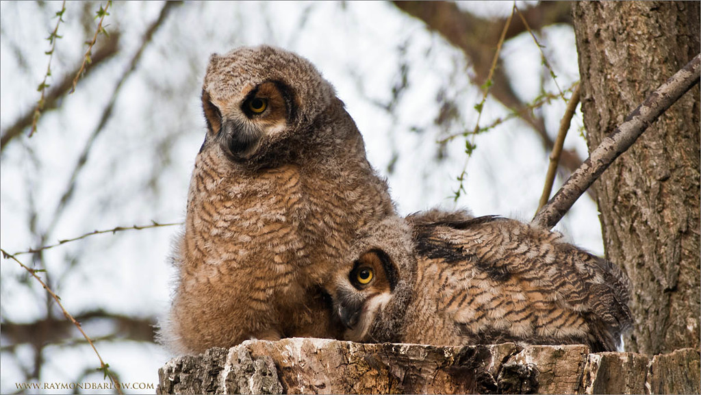 Great Horned Owlets<br /> Raymond's Ontario Nature Photography Tours<br /> <br /> Shot with the D810 Crop factor 1.2 <br /> Cropped further in Photoshop CS5<br /> Effective Focal length at 1.2 crop factor Approx.  1080 mm @ 1/50 second<br /> Jobu Algonquin Tripod - Jobu Gimbal Head<br /> <br /> ray@raymondbarlow.com<br /> Nikon D810 ,Swarovski Spotting Scope 95 mm<br /> 1/50s f/9.5 iso640