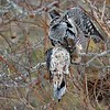 """A hawk owl will usually save the kill, stuffing it into a protected area like a thorny bush, or an old tree cavity created by woodpeckers.  The meal will stay cold and probably frozen for a later date when the bird is hungry and hunting is not going so well.<br /> <br /> We watched the owl find this old cache and move it to a new storage location, about 60 yards from the original stash.  It almost looks like he is try to make positive sure the dove is quite dead!<br /> <br /> Love real nature.<br /> <br /> Moderate crop at 8,000 iso, and a very easy edit.  Unfortunate with the birds beak cutting across the eye of the bird, but still happy to enjoy the experience.<br /> <br /> Northern Hawk Owl with a Mourning dove<br /> Ontario, Canada<br /> <br />  <a href=""""http://www.raymondbarlow.com"""">http://www.raymondbarlow.com</a><br /> Sony Alpha α9 ,Sony 100-400GM<br /> 1/800s f/5.6 at 385.0mm iso8000"""