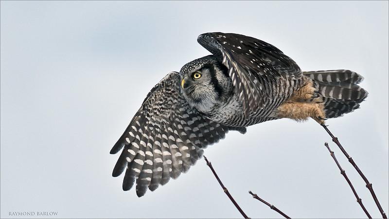 """Northern Hawk owl Take Off<br /> Ontario, Canada<br /> <br />  <a href=""""http://www.raymondbarlow.com"""">http://www.raymondbarlow.com</a><br /> Sony Alpha A9,Sony 100-400GM<br /> 1/5000s f/5.6 at 400.0mm iso640"""