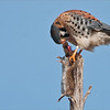 """Circle of Life"" in the natural world.<br /> <br /> A male Kestrel flew right to the passenger door of my pickup truck, and scooped this mouse out of the grass, and ventured off to the nearest tree.<br /> <br /> On foot, my guest and I were able to move in close and capture a few images of the feeding.  Often, while out photographing wild raptors, we will see a feeding.  Here we can witness the falcon eating the brains of the mouse first., as opposed to an owl which will swallow the mouse whole.  <br /> <br /> Enjoy and respect Nature!"