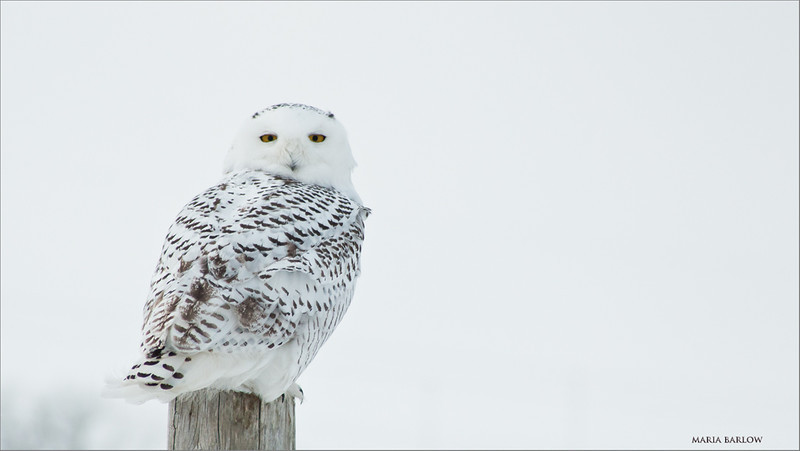 Maria's Snowy Owl<br /> RJB Wild Birds of Ontario Workshops<br /> Maria Barlow's first wild owl photo shoot with her Daddy!<br /> Canon EOS 70D<br /> Canon EF 28-200mm f/3.5-5.6<br /> 1/2500s f/5.6 at 200.0mm iso500