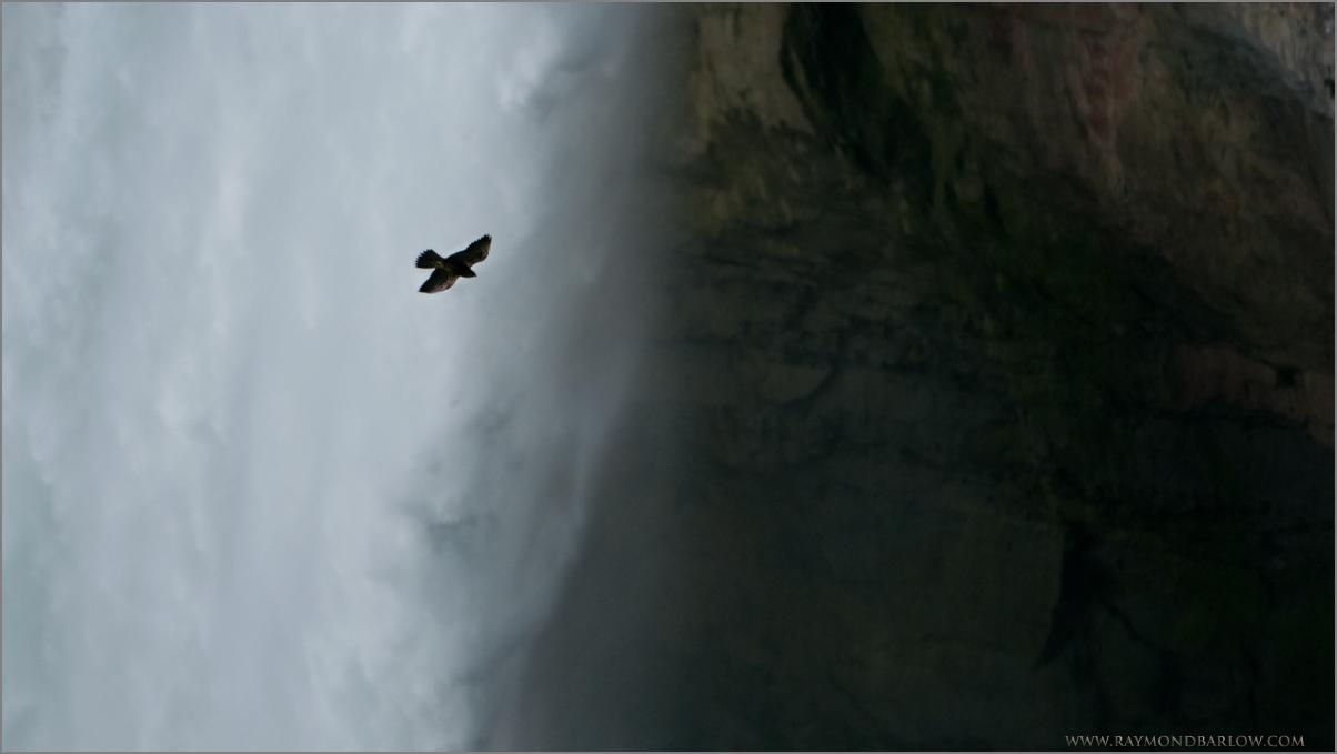 Peregrine at the Falls