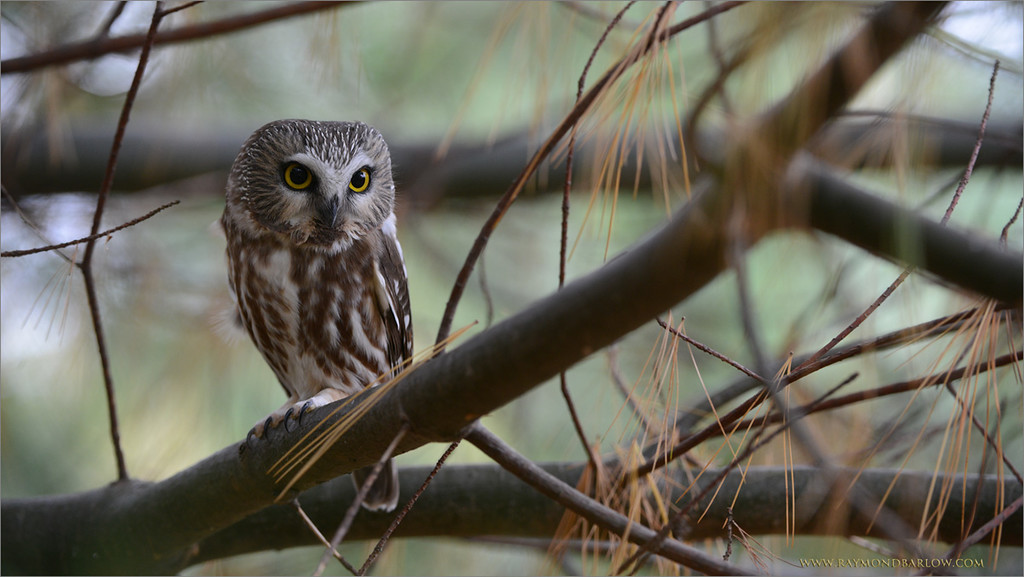"""After a Raptors in Flight workshop yesterday, we went looking for some wild owls, and found 3 wee ones!<br /> <br /> Thanks to all of my guests!  Lucky for me, I told everyone we might find 3, and we did have great shooting!<br /> <br /> more soon... and the Ecuador tour is ready for you! Details-<br /> <a href=""""http://raymondbarlowworkshops.blogspot.ca/2014/07/raymonds-ecuador-photo-tour.html"""">http://raymondbarlowworkshops.blogspot.ca/2014/07/raymonds-ecuador-photo-tour.html</a><br /> <br /> Please enjoy nature with respect!<br /> <br /> Saw Whet Owl<br /> RJB Wild Birds of Ontario Workshops<br />  <a href=""""http://www.raymondbarlow.com"""">http://www.raymondbarlow.com</a><br /> 1/30s f/5.0 at 220.0mm iso1000"""
