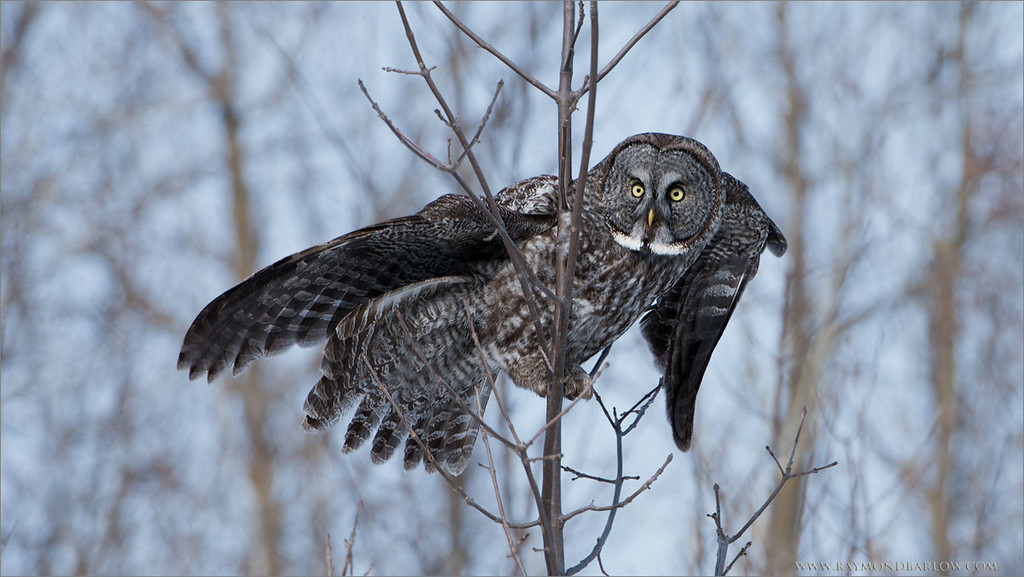 """Great Grey Owl Landing<br /> Raymond's Ontario Nature Tours<br /> <br /> Please respect our natural world.<br /> <br />  <a href=""""http://www.raymondbarlow.com"""">http://www.raymondbarlow.com</a><br /> ray@raymondbarlow.com<br /> Nikon D800 ,Nikkor 200-400mm f/4G ED-IF AF-S VR<br /> 1/1250s f/6.3 at 350.0mm iso250"""