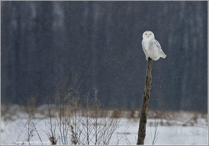 Snowy Owl on a Post 2