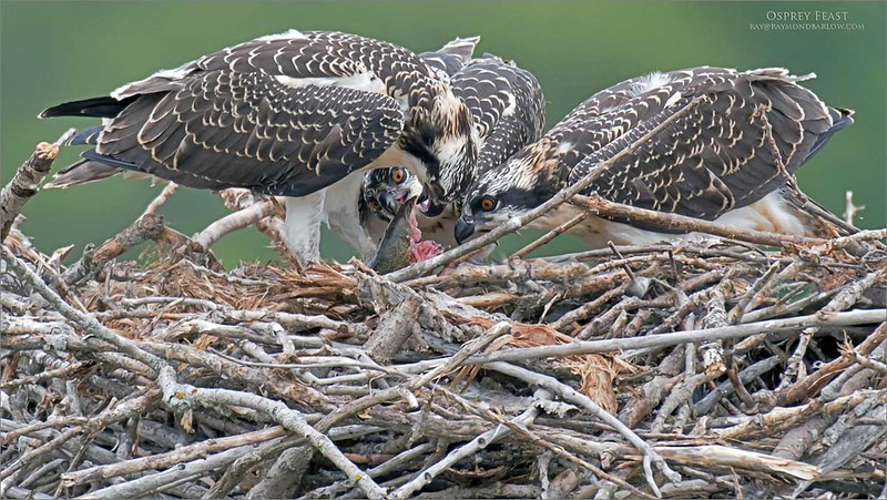 Osprey family with a catfish dinner!<br /> <br /> Thanks to buddy Bruce Kennedy for sharing this cool location!<br /> A bit of a drive for us, but it was worth it!<br /> <br /> Osprey dinner for 3!<br /> Ontario, Canada<br /> <br /> Photo tours!<br /> ray@raymondbarlow.com<br /> Nikon D850 ,Nikkor 500mm f/4D IF-ED<br /> 1/1250s f/4.0 at 500.0mm iso800