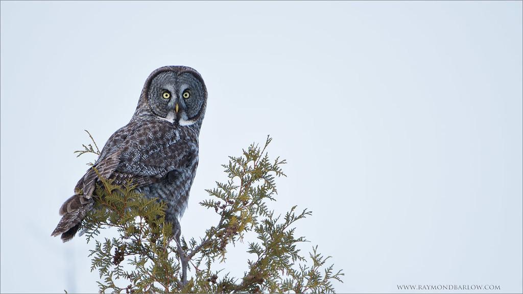 "Great Gray Owl<br /> Raymond's Ontario Nature Tours<br /> <br />  <a href=""http://www.raymondbarlow.com"">http://www.raymondbarlow.com</a><br /> ray@raymondbarlow.com<br /> Nikon D800 ,Nikkor 200-400mm f/4G ED-IF AF-S VR<br /> 1/800s f/4.0 at 400.0mm iso250"
