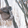Great grey owl hunting for a natural Dinner.<br /> <br /> It was nice to catch this flight shot as this amazing owl was moving to a new hunting position.  Panning the speed of the owl was easy as I was using a Jobu Gimbal head, on an Algonquin tripod, also made by Jobu.<br /> <br /> Let's hop for another try with these wonderful owls through the winter  of 2021.<br /> <br /> Thanks for looking!