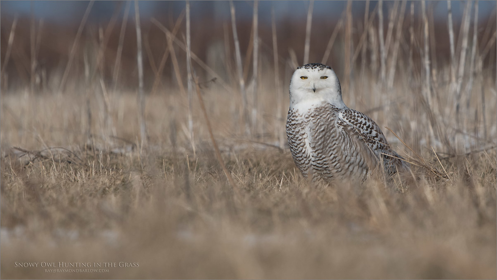 Snowy Owl in the Grass<br /> Raymond's Ontario Nature Photography Tours<br /> <br /> ray@raymondbarlow.com<br /> Nikon D850 ,Nikkor 200-400mm f/4G ED-IF AF-S VR<br /> 1/1600s f/8.0 at 400.0mm iso400