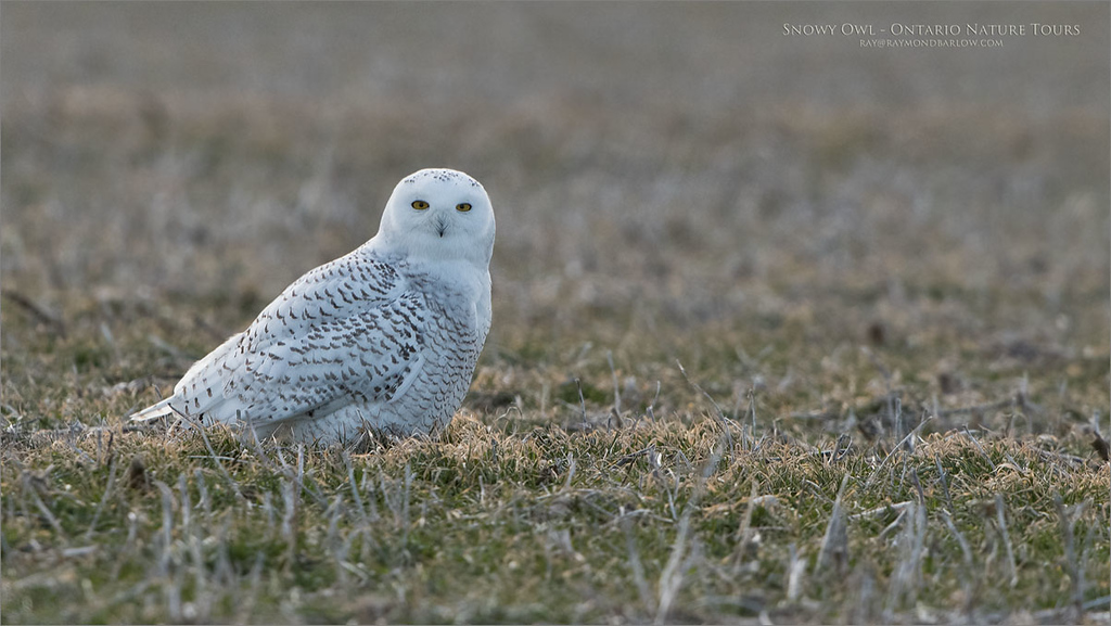 Snowy Owl - Ontario Tundra<br /> Raymond's Ontario Nature Photography Tours<br /> <br /> ray@raymondbarlow.com<br /> Nikon D850 ,Nikkor 200-400mm f/4G ED-IF AF-S VR<br /> 1/2000s f/5.6 at 400.0mm iso800