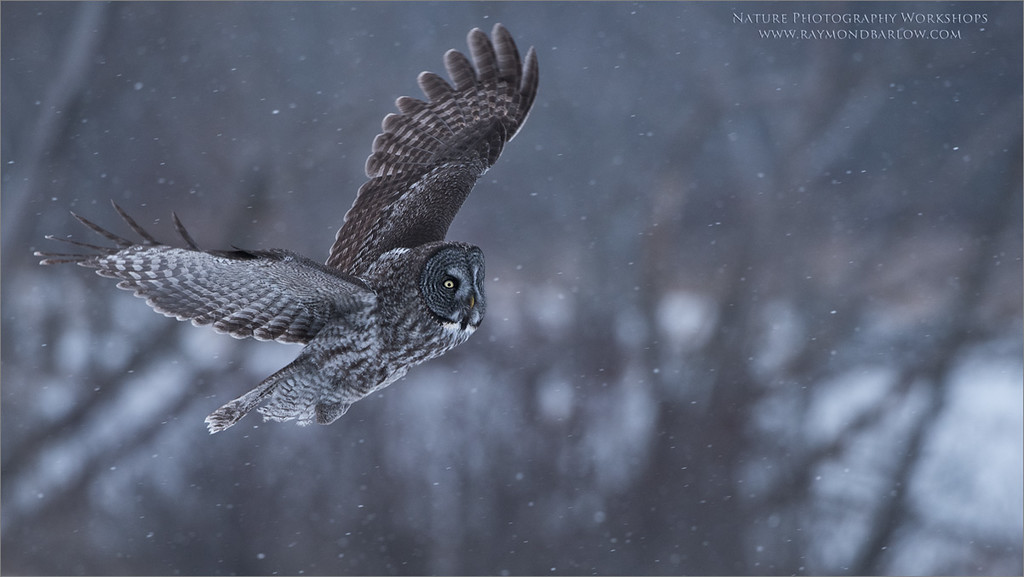 Great grey owl Lift Off<br /> Raymond's Canada Nature Photography Tours<br /> <br /> ray@raymondbarlow.com<br /> Nikon D810 ,Nikkor 200-400mm f/4G ED-IF AF-S VR<br /> 1/1000s f/5.0 at 400.0mm iso1600