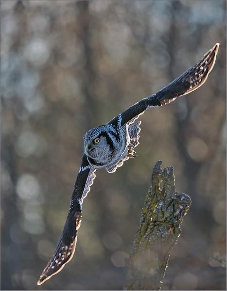 """Northern Hawk Owl in Flight 2<br /> Ontario, Canada<br /> <br />  <a href=""""http://www.raymondbarlow.com"""">http://www.raymondbarlow.com</a><br /> Sony Alpha A9,Sony 100-400GM<br /> 1/3200s f/5.6 at 400.0mm iso1250"""