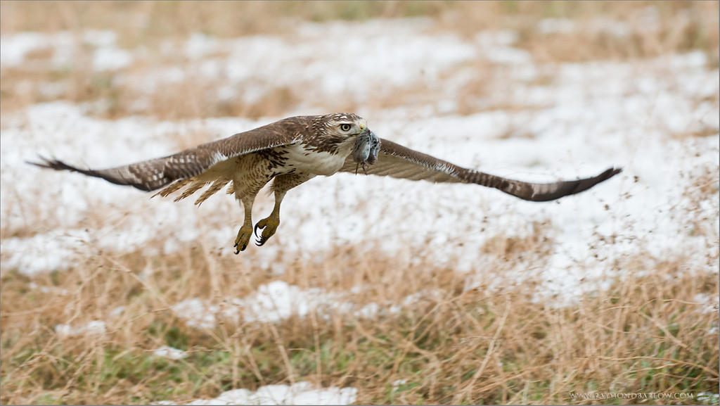 Red-tailed Hawk with Lunch<br /> RJB Wild Birds of Ontario Workshops<br /> ray@raymondbarlow.com<br /> No Bait used or needed<br /> Nikon D800 ,Nikkor 200-400mm f/4G ED-IF AF-S VR<br /> 1/800s f/4.0 at 220.0mm iso1000
