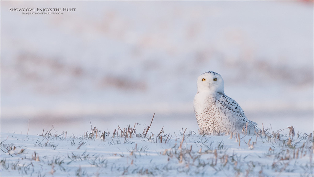 Snowy Owl enjoys the Hunt<br /> Raymond's Ontario Nature Photography Tours<br /> <br /> ray@raymondbarlow.com<br /> Nikon D810 ,Nikkor 200-400mm f/4G ED-IF AF-S VR<br /> 1/1600s f/5.6 at 400.0mm iso1000