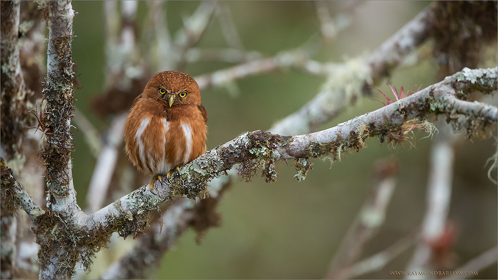 """Pure Beauty in Nature!<br /> <br /> We are enjoying our tour here in Costa Rica, the opportunity to view this Pygmy Owl and his mate was superb.  Touring this amazing wonderland of hummingbirds, tanagers, toucans is a true privilege! <br /> <br /> Special thanks to the excellent people in this country for taking such good care of the natural environment.<br /> <br /> Please respect nature, and nature will respect you!<br /> <br /> Best wishes... back to Canada next week, then India for the middle of April!<br /> <br /> Raymond.<br /> <br /> <br /> Costa Rican Pygmy Owl - Male<br /> RJB Costa Rica Tours<br />  <a href=""""http://www.raymondbarlow.com"""">http://www.raymondbarlow.com</a><br /> 1/1000s f/4.0 at 400.0mm iso2000"""