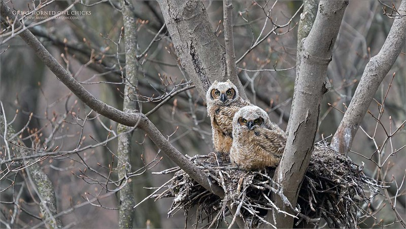 This image was taken during my first shoot with these cute young owls, back on April 24th 2020.  So cute!  Good fun in spite of the strong winds.  After 10 trips to see them I do have a few images to edit, so lots of time to get to that in the summer.<br /> <br /> Also, I met some nice people at this nest, and good conversations., another benefit to a great location!<br /> <br /> Thanks for looking!