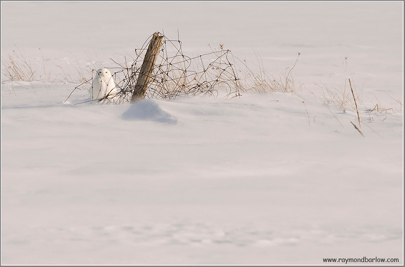 Snowy at the fence