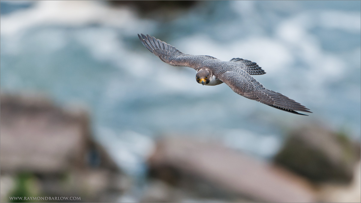 "Peregrine Falcon in Flight over Niagara Gorge<br /> Raymond's Ontario Nature Tours<br /> <br />  <a href=""http://www.raymondbarlow.com"">http://www.raymondbarlow.com</a><br /> ray@raymondbarlow.com<br /> Nikon D300 ,Nikkor 200-400mm f/4G ED-IF AF-S VR<br /> 1/800s f/4.0 at 400.0mm iso320"