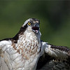 Angry osprey, screaming at an invading adult who was flying by for a visit.  She was a bit upset!<br /> <br /> 200-600 + 1.4 tc x 1.5 crop sensor.