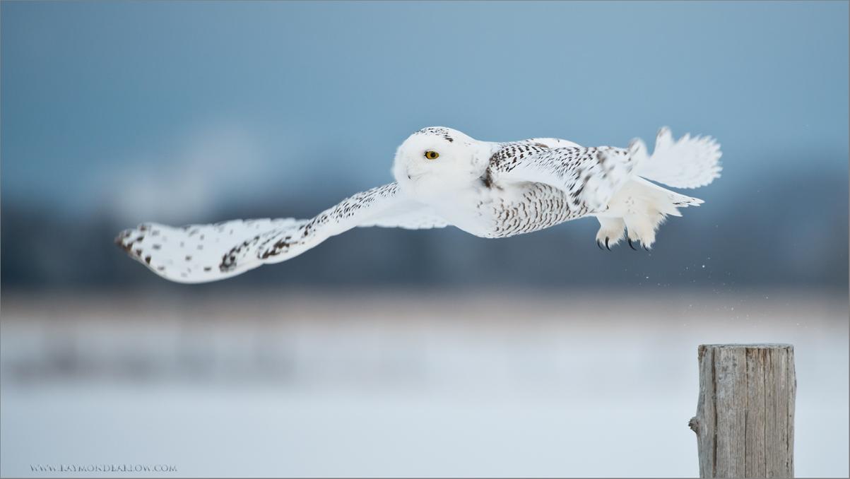 Snowy Owl in Flight<br /> RJB Wild Birds of Ontario Workshops<br /> ray@raymondbarlow.com<br /> Nikon D800 ,Nikkor 200-400mm f/4G ED-IF AF-S VR<br /> 1/1000s f/4.0 at 400.0mm iso1000<br /> No bait used.