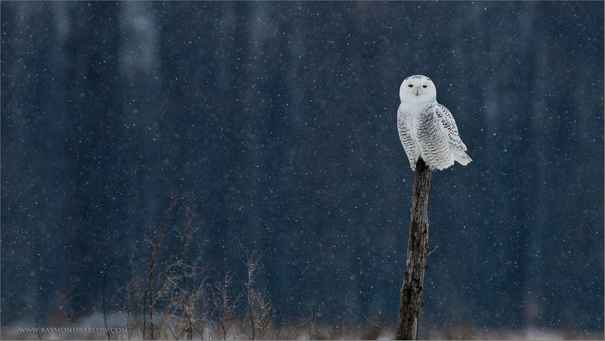Snowy Owl re-edit<br /> RJB Wild Birds of Ontario Workshops<br /> <br /> ray@raymondbarlow.com<br /> No bait used<br /> Nikon D70 ,Nikkor 80-400mm f/4.5-5.6D ED VR AF<br /> 1/1250s f/5.6 at 400.0mm iso200
