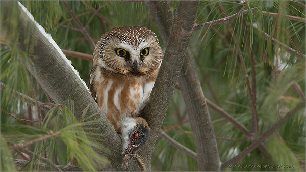A Gem in the Woods - Saw-whet Owl  (warning, a little gruesome!)  We almost finished a 1.5 hour hike in deep snow, when we came upon this tiny owl (about the size of a pop can!)  deep in the woods.  It was sitting quietly on its kill, almost totally hidden from view!  We found an angle and took a few shots.  These birds a very friendly, and usually will not fly away, once found.  The bird had already removed the voles stomach, as it (the stomach of the vole) was hanging on the branch below the kill.  An amazing site to see in real nature!  Special thanks to everyone for an amazing February  on Google+, over 11 million views!  Thanks for looking, wishing you a good week!  Contact me here if you wish - http://tinyurl.com/kdduyav  Saw-whet Owl RJB Wild Birds of Ontario Workshops www.raymondbarlow.com 1/15s f/13.0 at 200.0mm iso200