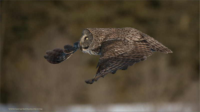 Great Gray Owl in Flight<br /> RJB Wild Birds of Ontario Workshops<br /> <br /> ray@raymondbarlow.com<br /> No bait used<br /> Nikon D800 ,Nikkor 200-400mm f/4G ED-IF AF-S VR<br /> 1/2000s f/4.0 at 300.0mm iso500