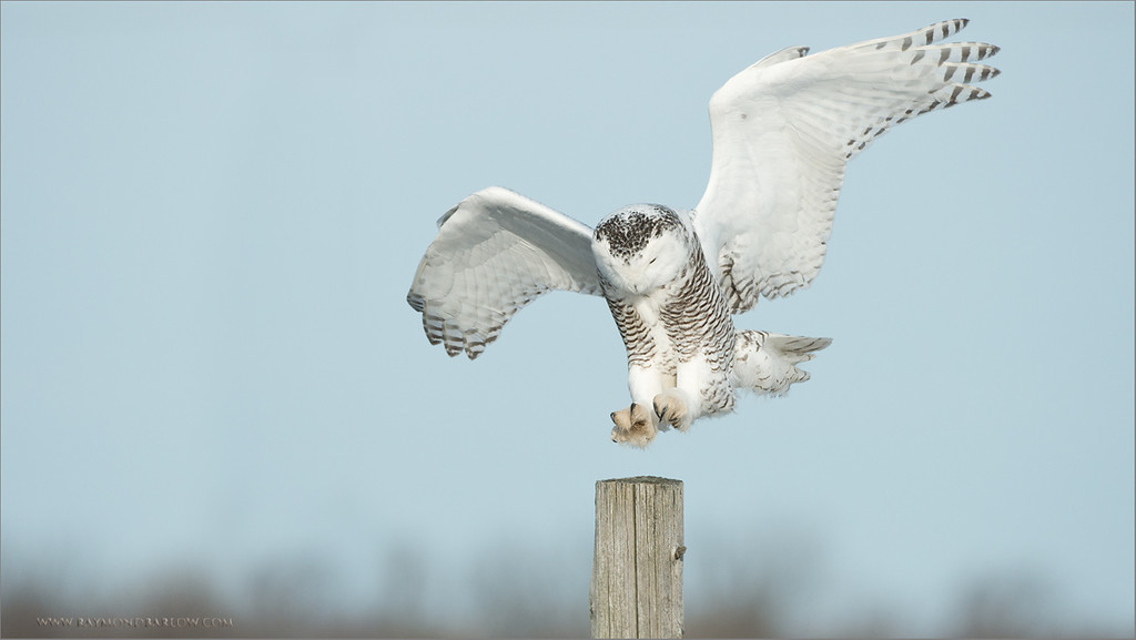 Snowy Owl Landing<br /> RJB Wild Birds of Ontario Workshops<br /> ray@raymondbarlow.com<br /> <br /> No Bait used or needed<br /> Nikon D800 ,Nikkor 200-400mm f/4G ED-IF AF-S VR<br /> 1/2500s f/4.0 at 330.0mm iso400<br /> <br /> Thanks for looking - please respect nature.