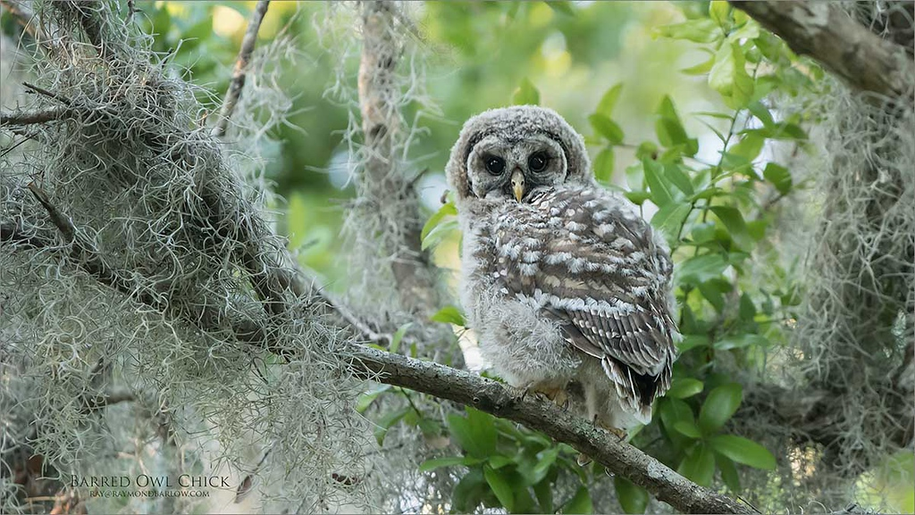 Barred Owlet<br /> Florida<br /> <br /> ray@raymondbarlow.com<br /> <br /> Nikon D850 ,Nikkor 200-400mm f/4G ED-IF AF-S VR<br /> 1/320s f/4.0 at 350.0mm iso2000
