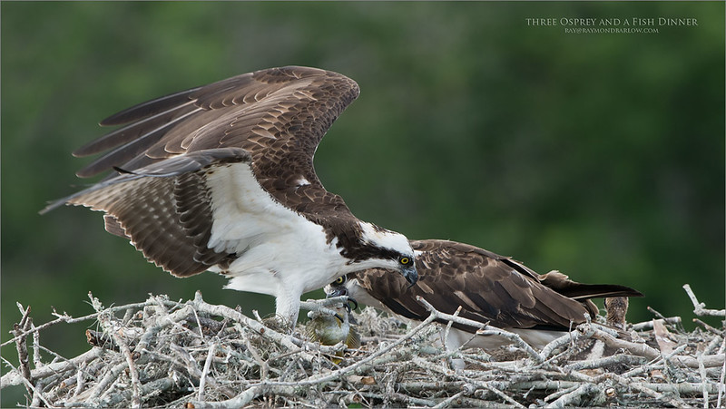 An osprey is dropping off dinner to his family.  Looking closely, you can see the hand off to the female, and the very young chick on the right side of the nest.<br /> <br /> Looking forward to a return visit on April 24th, 2018.<br /> <br /> <br /> Three Osprey and a Fish<br /> Raymond Barlow Photo Tours to USA - Wildlife and Nature<br /> <br /> ray@raymondbarlow.com<br /> Nikon D850 ,Nikkor 200-400mm f/4G ED-IF AF-S VR<br /> 1/500s f/6.3 at 400.0mm iso400
