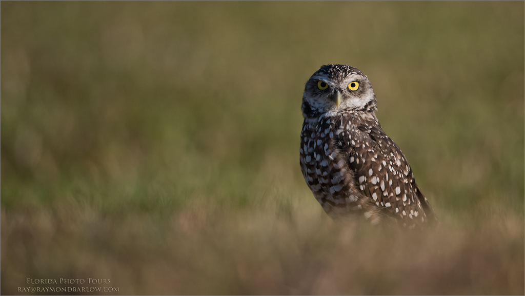 Burrowing Owl - Florida<br /> Raymond Barlow Photo Tours to USA - Wildlife and Nature<br /> <br /> Thanks to my friend and guest Harry Hersh for allowing me to use his 600mm F4.<br /> <br /> Florida Tours<br /> ray@raymondbarlow.com<br /> Nikon D810 ,Nikkor 600 mm f/4 ED<br /> 1/4000s f/4.0 at 600.0mm iso320