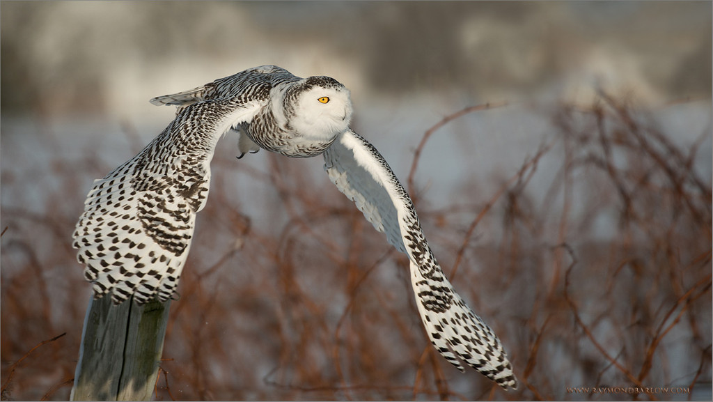 Snowy Owl in Flight<br /> RJB Wild Birds of Ontario Workshops<br /> ray@raymondbarlow.com<br /> Nikon D800 ,Nikkor 200-400mm f/4G ED-IF AF-S VR<br /> 1/5000s f/4.0 at 360.0mm iso320<br /> no bait used to produce this image