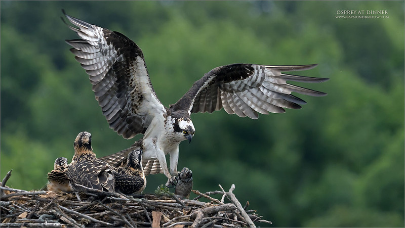 Osprey family dinner.<br /> <br /> Real nature, great fun.