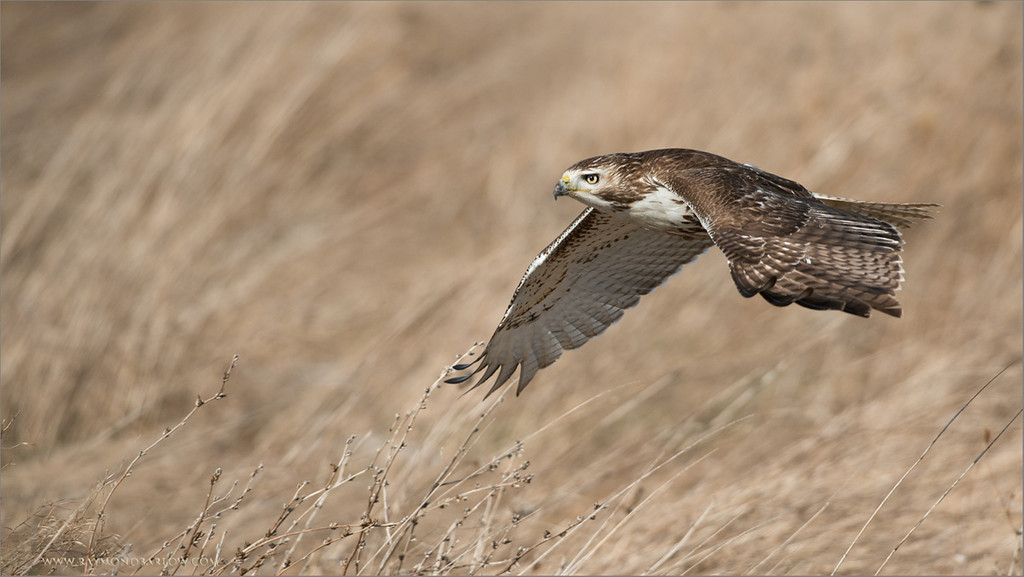 Red-tailed Hawk in Flight<br /> RJB Wild Birds of Ontario Workshops<br /> <br /> ray@raymondbarlow.com<br /> No Bait used or needed<br /> Nikon D800 ,Nikkor 200-400mm f/4G ED-IF AF-S VR<br /> 1/3200s f/4.0 at 340.0mm iso400