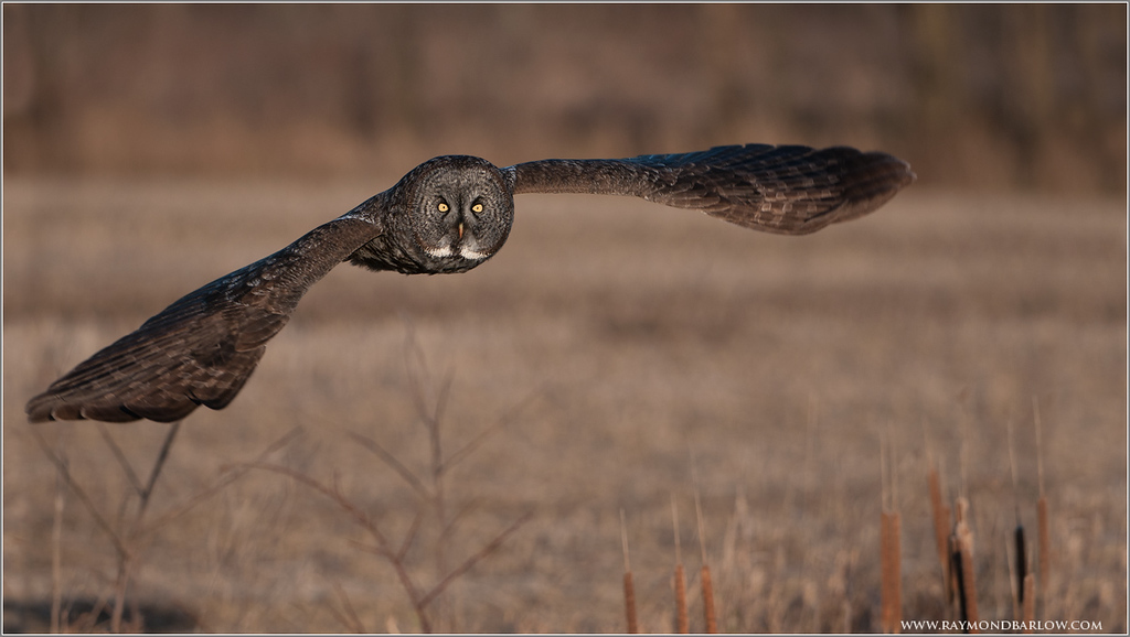 Great Grey Owl in Flight (wild bird!)