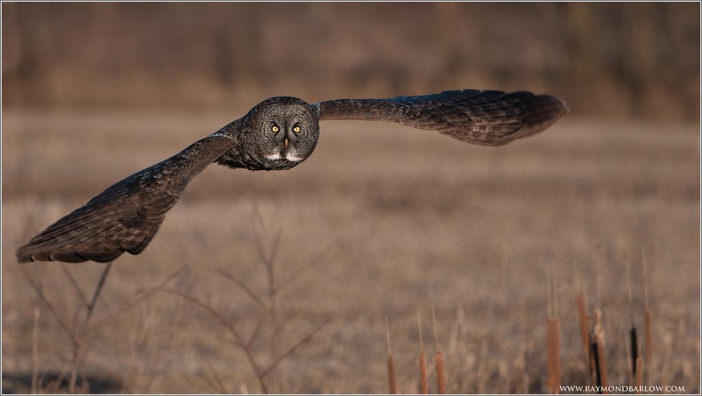 Great Grey Owl in Flight (wild bird!)