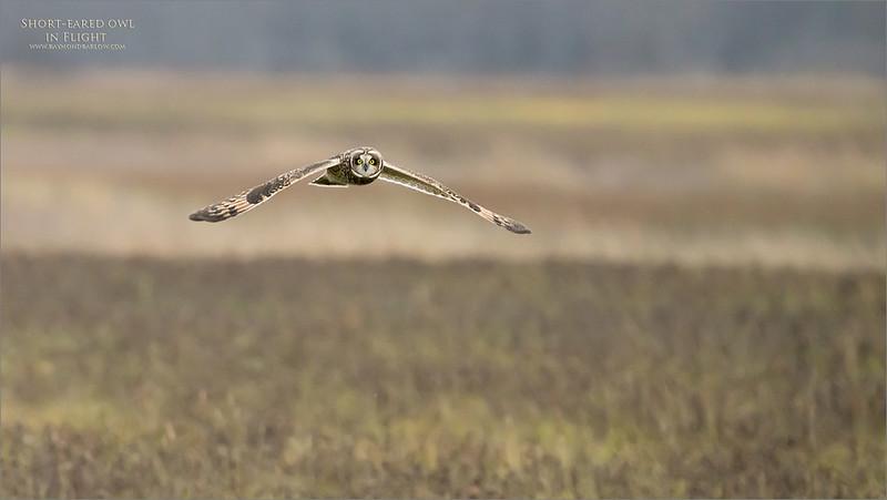 7R401606 Short eared owl  in flight 1200 web