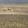 7R401606 Short eared owl  in flight 1200 web