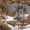 """This is the third flight shot of the series, more to come.<br /> <br /> Northern Hawk Owl with prey tucked away!<br /> Ontario, Canada<br /> <br />  <a href=""""http://www.raymondbarlow.com"""">http://www.raymondbarlow.com</a><br /> Sony Alpha α9 ,Sony 100-400GM<br /> 1/3200s f/5.6 at 400.0mm iso2000"""