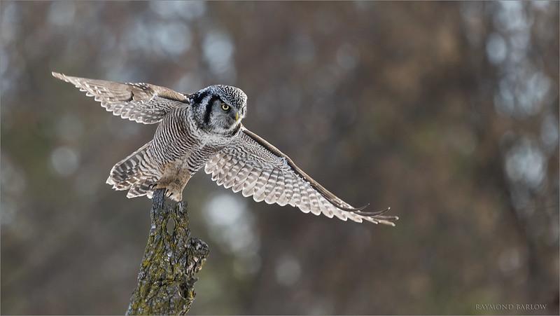 7R403665 Northern Hawk Owl Lift off 1200 web