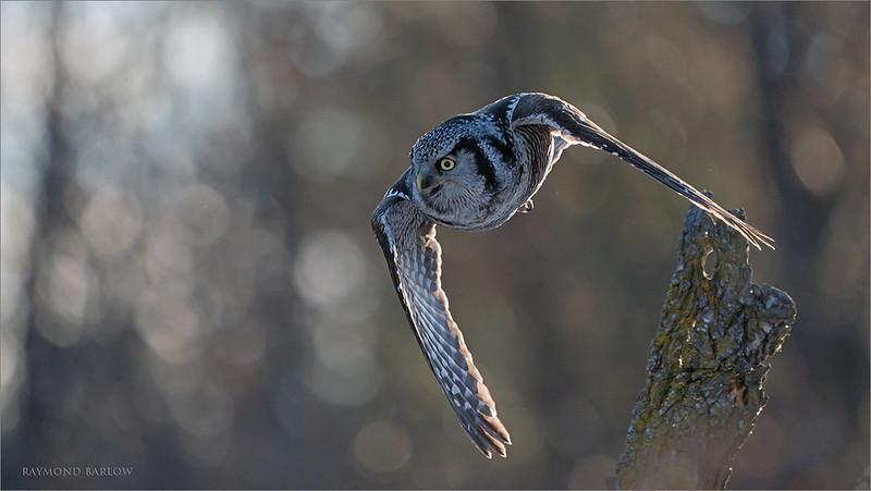 """Northern Hawk owl in Flight 3<br /> Ontario, Canada<br /> <br />  <a href=""""http://www.raymondbarlow.com"""">http://www.raymondbarlow.com</a><br /> Sony Alpha A9,Sony 100-400GM<br /> 1/3200s f/5.6 at 400.0mm iso1250"""