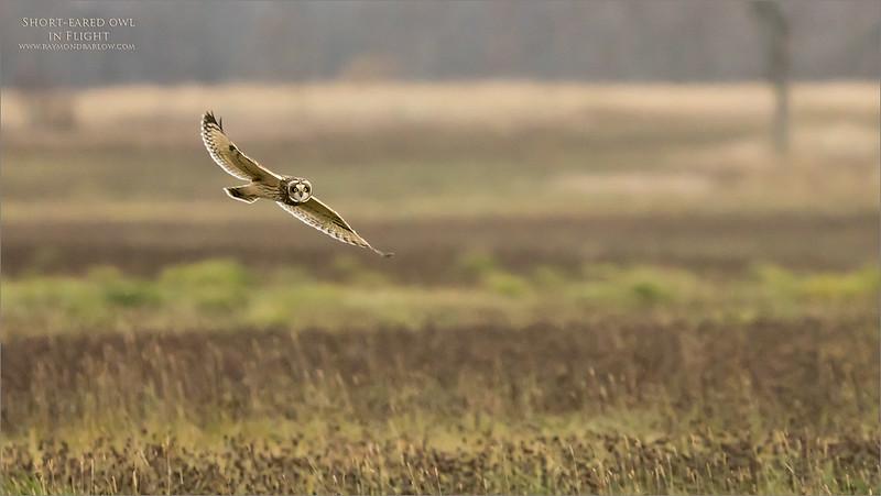 7R401682 Short-eared owl in Flight 1200 web