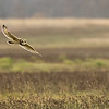 7R401682 Short-eared owl in Flight 1200 web