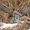 """Airborne and away traveling to the next perch to decide what to do with the latest kill! <br /> <br /> Northern Hawk Owl Lift Off!<br /> Ontario, Canada<br /> <br />  <a href=""""http://www.raymondbarlow.com"""">http://www.raymondbarlow.com</a><br /> Sony Alpha α9 ,Sony 100-400GM<br /> 1/3200s f/5.6 at 400.0mm iso2000"""