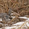 """After a vertical dive into the bulrush, the owl pops out with a nice catch for lunch!  A big juicy vole.  In the next few shots he lifts off to carry his meal to a nearby safety zone.<br /> <br /> Northern Hawk Owl with a Vole!<br /> Ontario, Canada<br /> <br />  <a href=""""http://www.raymondbarlow.com"""">http://www.raymondbarlow.com</a><br /> Sony Alpha α9 ,Sony 100-400GM<br /> 1/3200s f/5.6 at 330.0mm iso2000"""