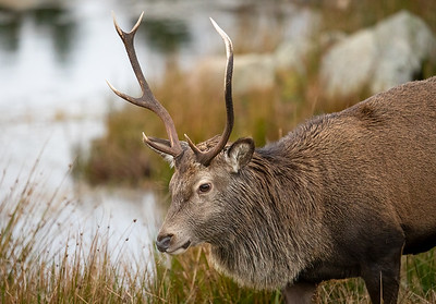 Red Deer, Glencoe